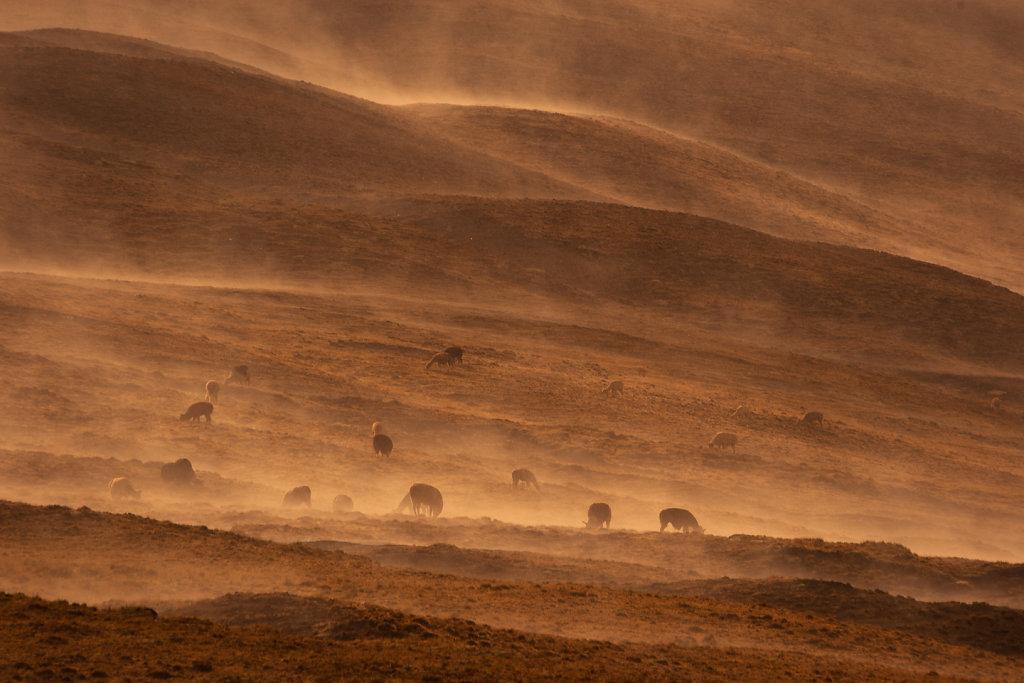 alpaca dawn
